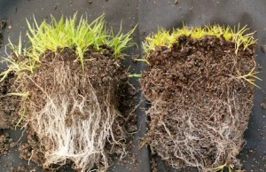 Inoculated grass plants on left - untreated on right.