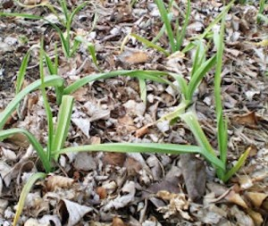 garlic w leaf mulch 2